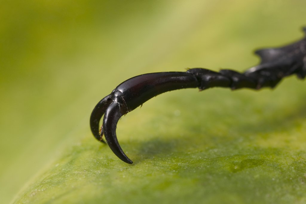 Stock Photo: 4201-65761 Rhinoceros Beetle (Dynastinae) claw and tarsus