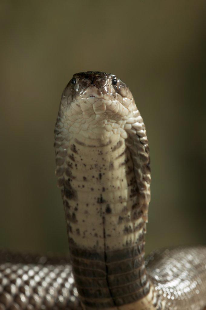Stock Photo: 4201-65787 Monocled Cobra (Naja naja kaouthia) portrait, venomous snake native to Asia