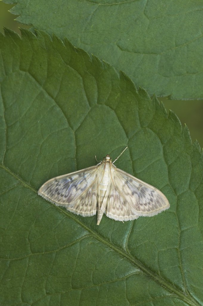 Stock Photo: 4201-65818 Mother of Pearl Moth (Pleuroptya ruralis) on leaf, Europe