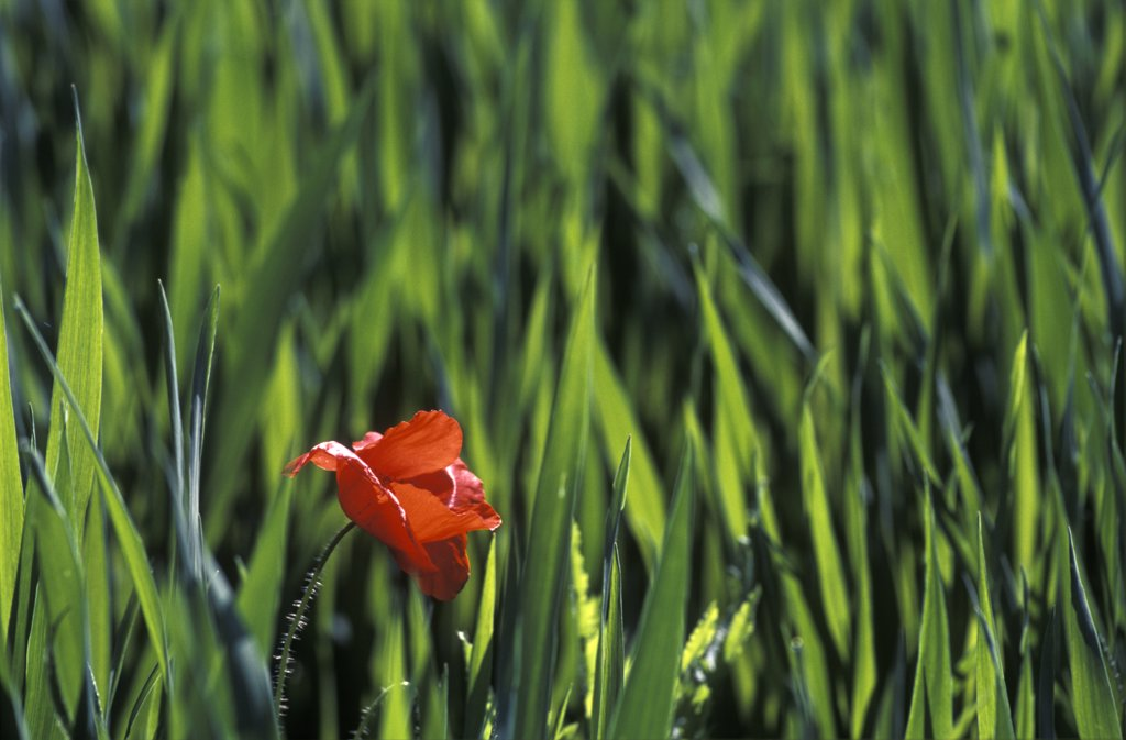 Stock Photo: 4201-66143 Red Poppy (Papaver rhoeas) in wheat field, Barcelona, Spain