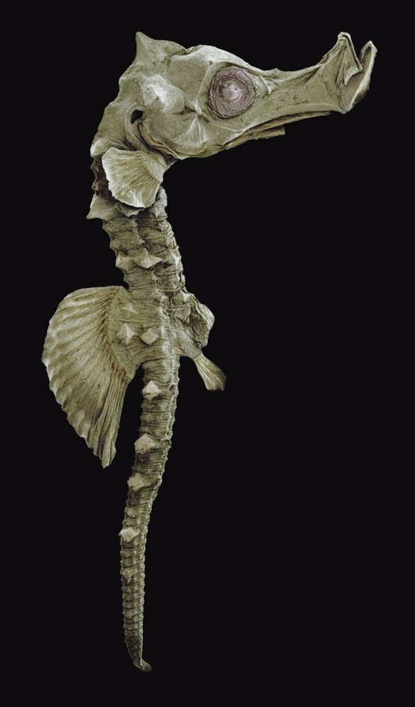 Stock Photo: 4201-66374 Short-snouted Seahorse (Hippocampus hippocampus), juvenile