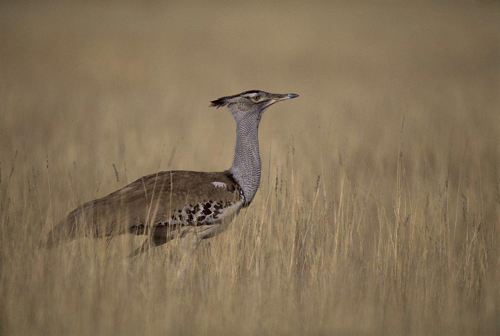 Stock Photo: 4201-66504 Kori Bustard (Ardeotis kori) in grassland, Kalahari Gemsbok National Park, South Africa