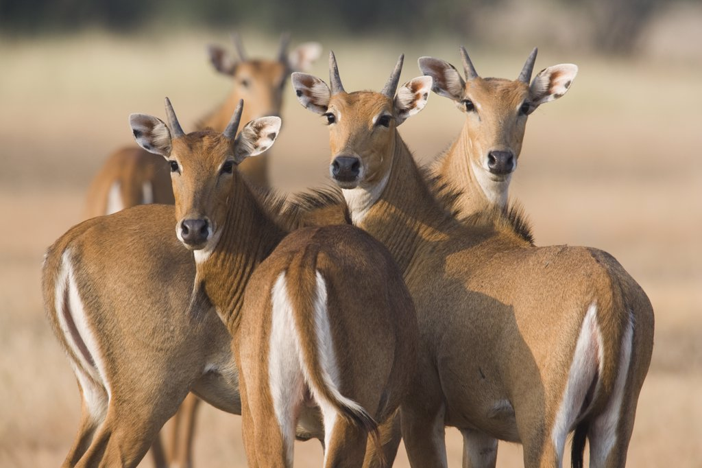 Stock Photo: 4201-66774 Nilgai (Boselaphus tragocamelus) group of females during the dry season, India