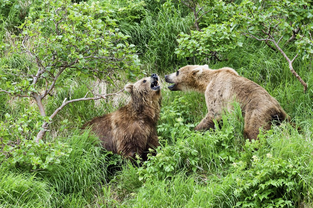 Brown Bear (Ursus arctos) pair growling at each other, Kamchatka, Russia : Stock Photo