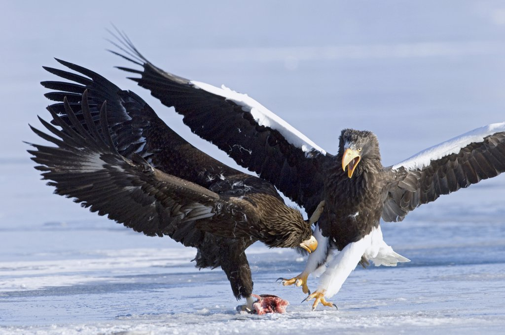 Steller's Sea Eagle (Haliaeetus pelagicus) adult fighting over food with juvenile, Kamchatka, Russia : Stock Photo