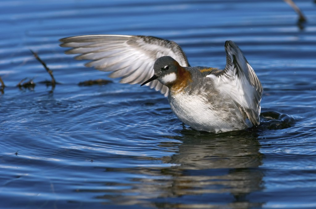 Red-necked Phalarope (Phalaropus lobatus) female spreading its wings, Kamchatka, Russia : Stock Photo