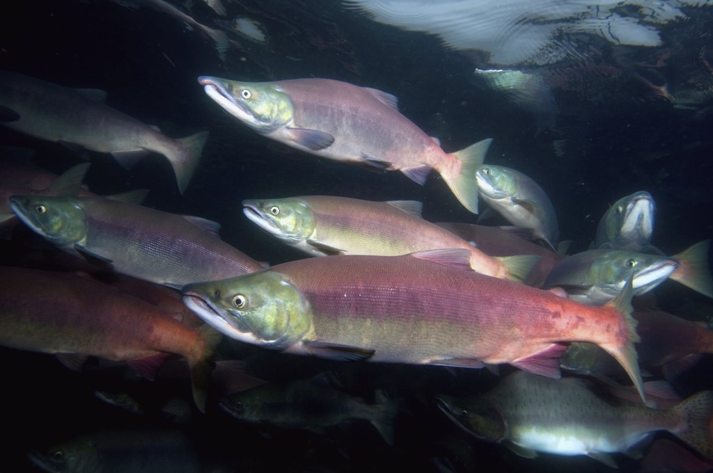 Sockeye Salmon (Oncorhynchus nerka) males and females in breeding coloration and morphology, Kamchatka, Russia : Stock Photo