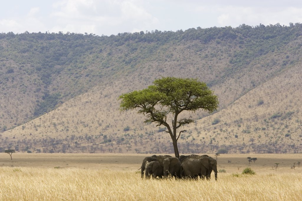 African Elephant (Loxodonta africana) herd resting in shade, Masai Mara, Kenya : Stock Photo