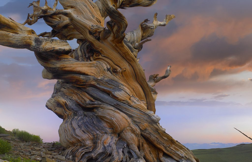 Stock Photo: 4201-6732 Foxtail Pine (Pinus balfouriana) tree, twisted trunk of an ancient tree, Sierra Nevada, California