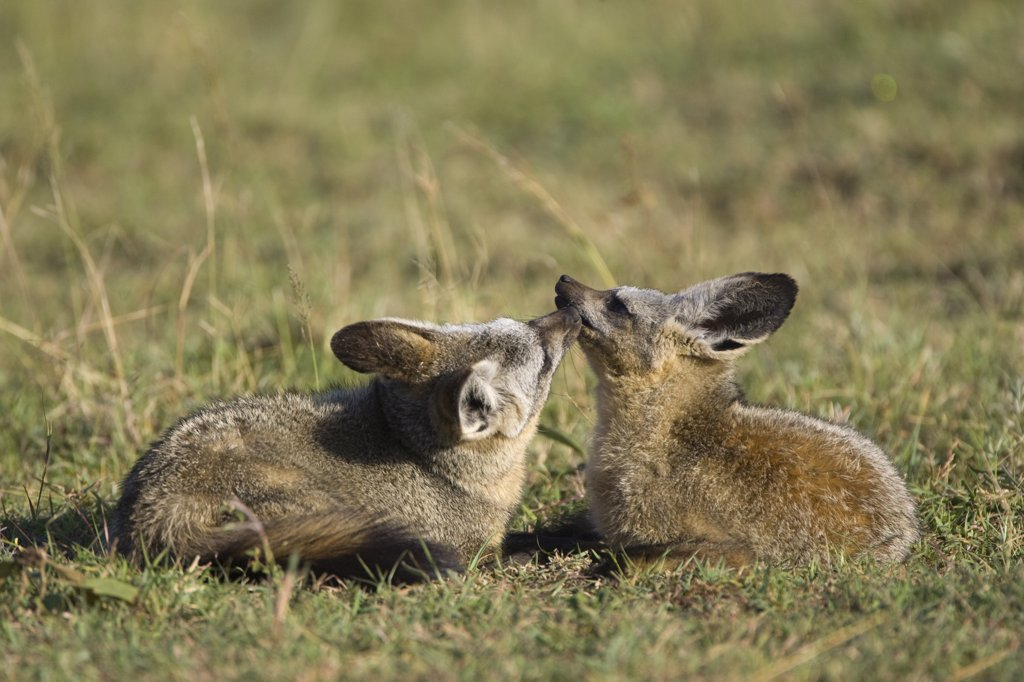 Stock Photo: 4201-67575 Bat-eared Fox (Otocyon megalotis) pair grooming each other, Masai Mara, Kenya