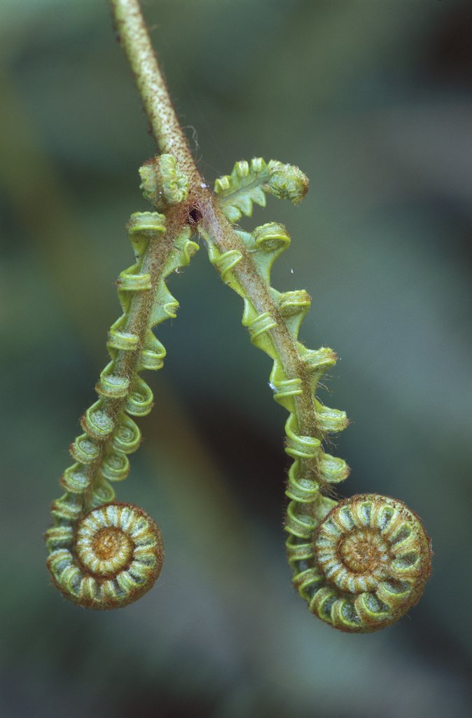 Stock Photo: 4201-68059 Curled fern fronds, Kinabalu National Park, Borneo, Malaysia