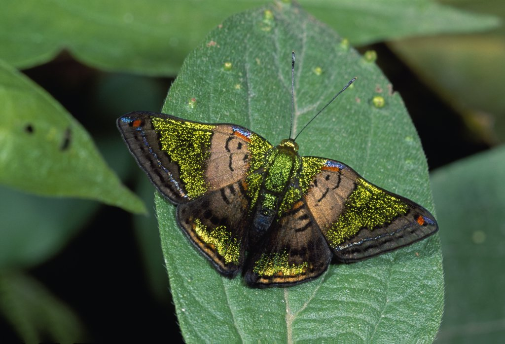 Stock Photo: 4201-68268 Butterfly (Caria lampeto), Risaralda, Colombia