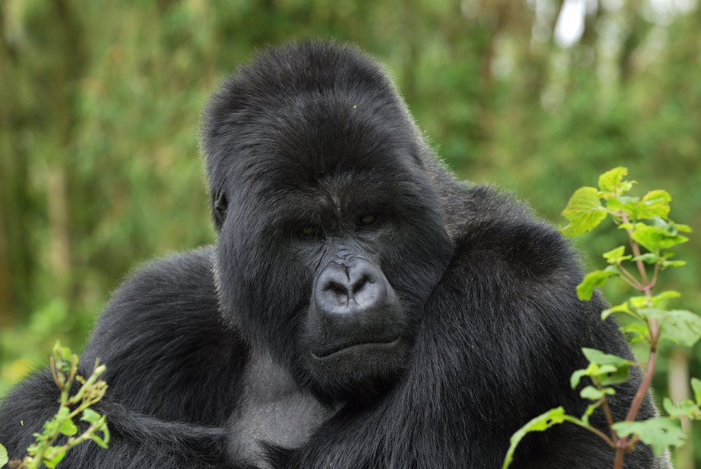 Stock Photo: 4201-68408 Mountain Gorilla (Gorilla gorilla beringei) silverback, Volcanoes National Park, Rwanda