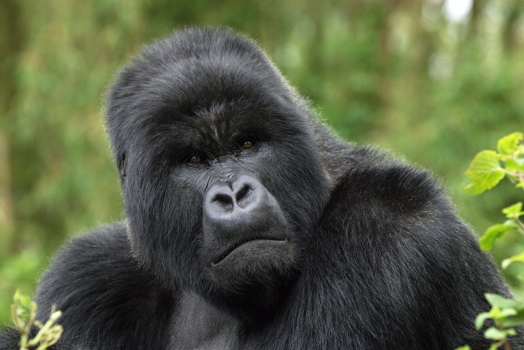 Stock Photo: 4201-68409 Mountain Gorilla (Gorilla gorilla beringei) silverback, Volcanoes National Park, Rwanda