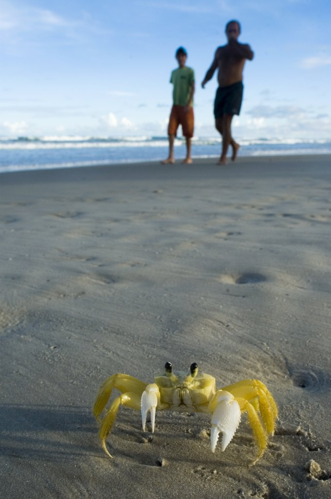 Ghost Crab (Ocypode quadrata) and tourists on beach, Urucuca, Bahia, Brazil : Stock Photo