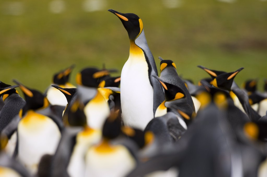 King Penguin (Aptenodytes patagonicus) colony, with one erecting itself to get better view, Volunteer Point, East Falkland Island, Falkland Islands : Stock Photo