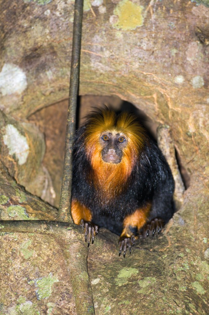 Golden-headed Lion Tamarin (Leontopithecus chrysomelas) emerging from its sleep den in the trunk of a tree, Bahia, Brazil : Stock Photo