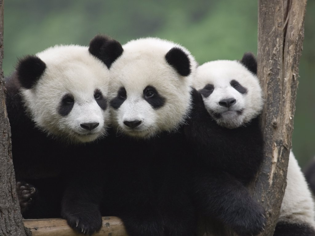 Stock Photo: 4201-68801 Giant Panda (Ailuropoda melanoleuca), three captive bred cubs, China