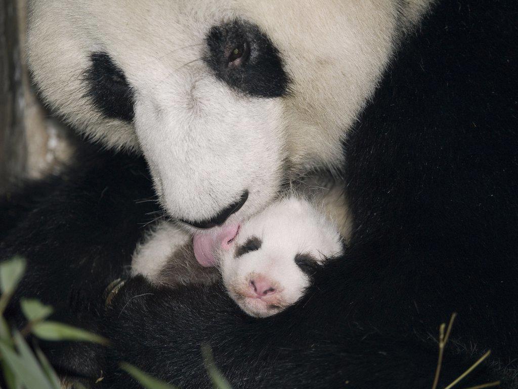 Giant Panda (Ailuropoda melanoleuca) mother cleaning cub, China : Stock Photo