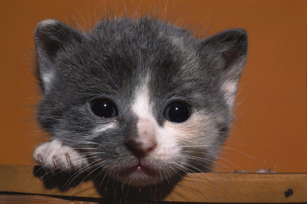 Stock Photo: 4201-69003 Domestic Cat (Felis catus) grey and white kitten