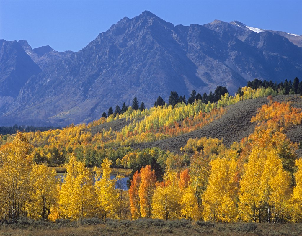 Aspen (Populus tremuloides) forest in autumn and Ranger Peak, Grand Teton National Park, Wyoming : Stock Photo