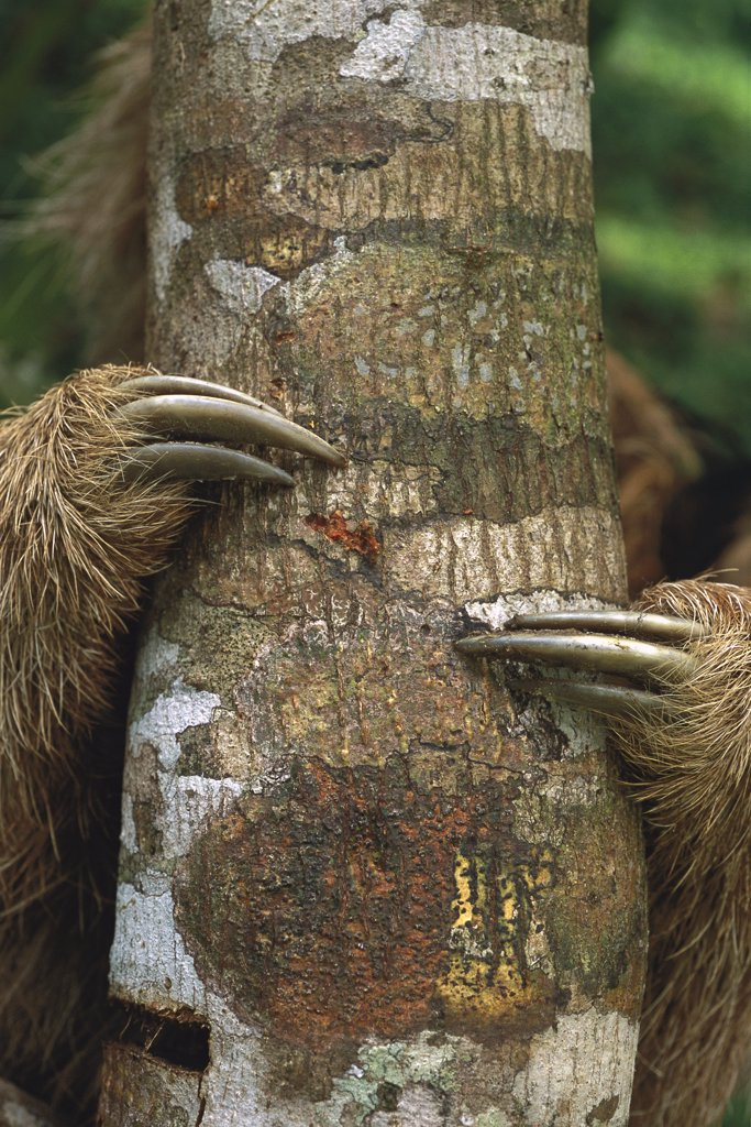 Stock Photo: 4201-70253 Maned Sloth (Bradypus torquatus) clinging to tree trunk showing claws, Atlantic Forest, Brazil