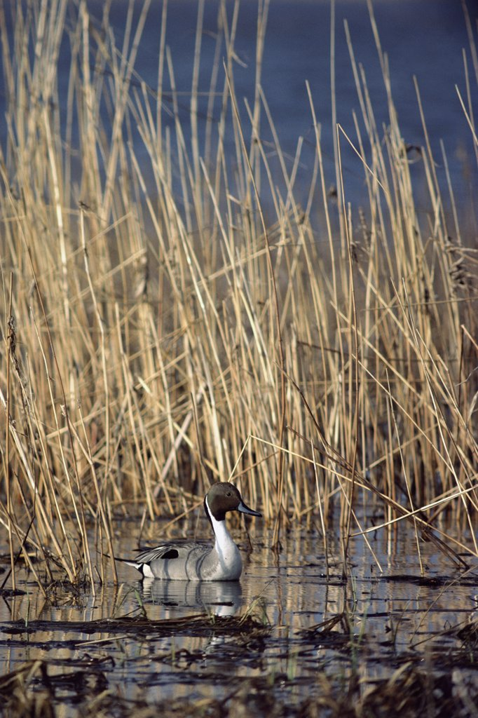 Stock Photo: 4201-70429 Northern Pintail (Anas acuta) male in water among reeds, North Dakota