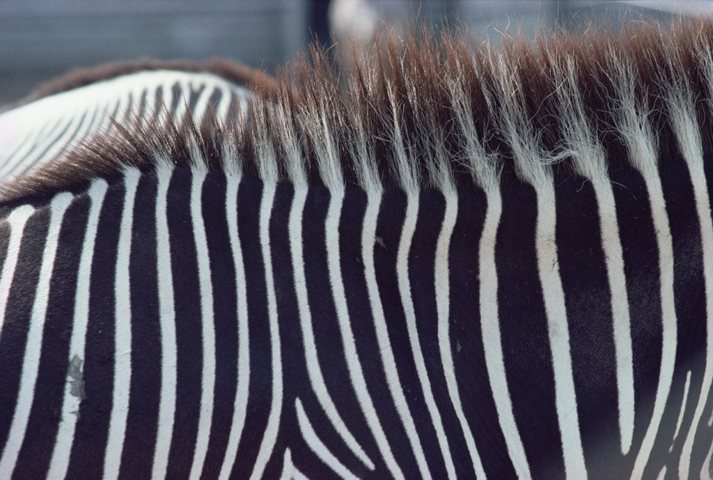 Stock Photo: 4201-70476 Burchell's Zebra (Equus burchellii) stripes, Namibia