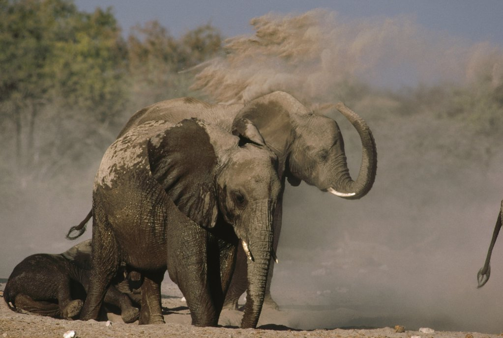 Stock Photo: 4201-70515 African Elephant (Loxodonta africana) group taking dust bath, Namibia