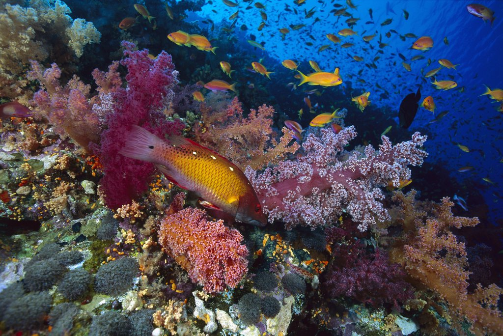 Stock Photo: 4201-70593 Diana's Hogfish (Bodianus diana) and Soft Coral (Dendronephthya sp), Red Sea, Egypt