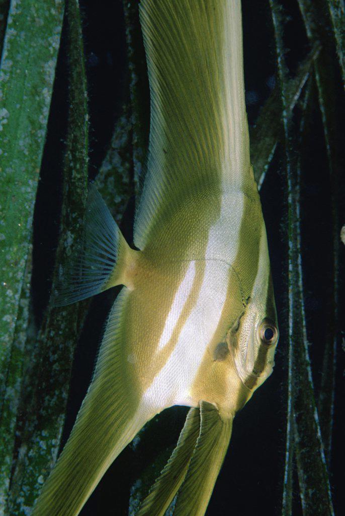 Longfin Batfish (Platax teira) juvenile in Eel Grass (Enhalus ecoroides) 10 feet deep, Solomon Islands : Stock Photo