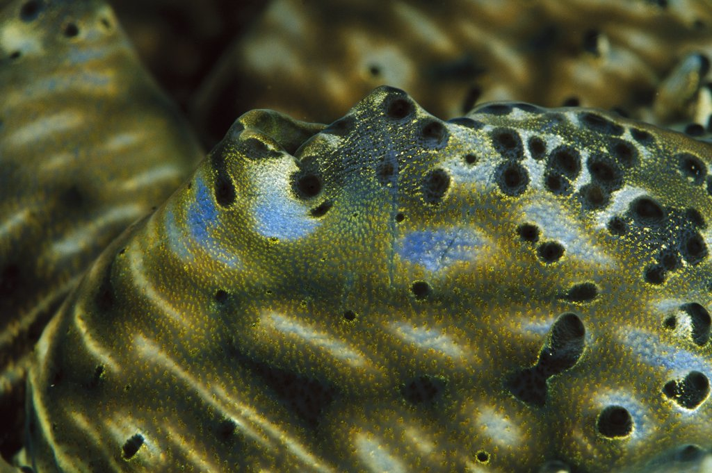 Giant Clam (Tridacna gigas) mantle detail, world's largest and heaviest mollusk, 20 feet deep off of Solomon Islands : Stock Photo