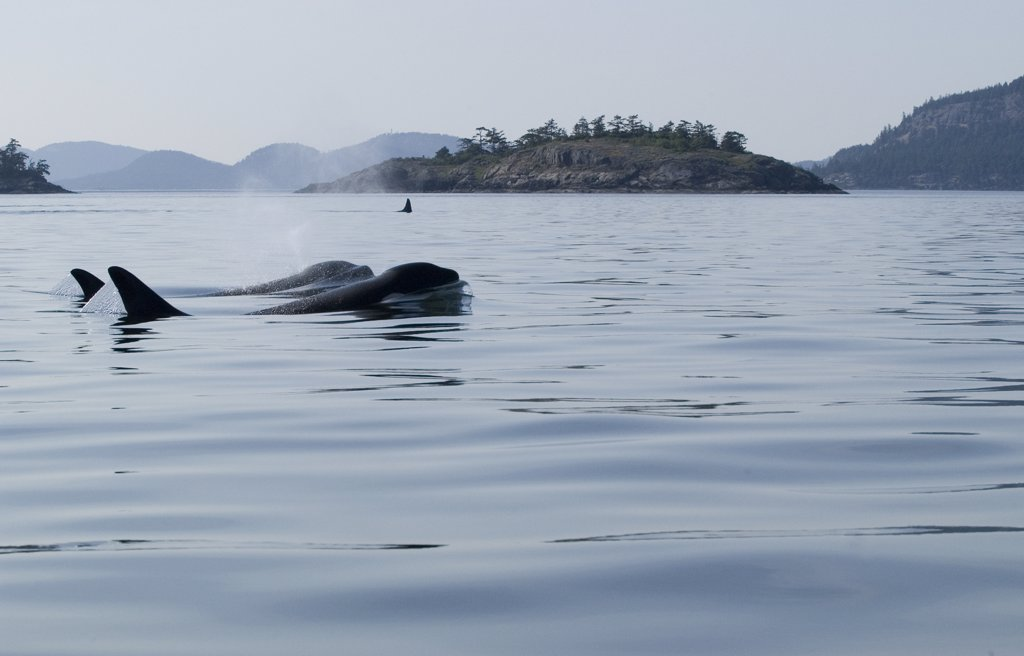 Orca (Orcinus orca) pair sufacing, southeast Alaska : Stock Photo