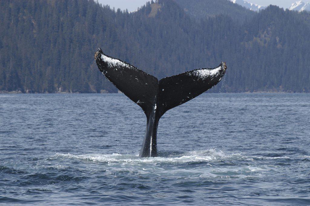 Stock Photo: 4201-71701 Humpback Whale (Megaptera novaeangliae) tail, vulnerable, southeast Alaska