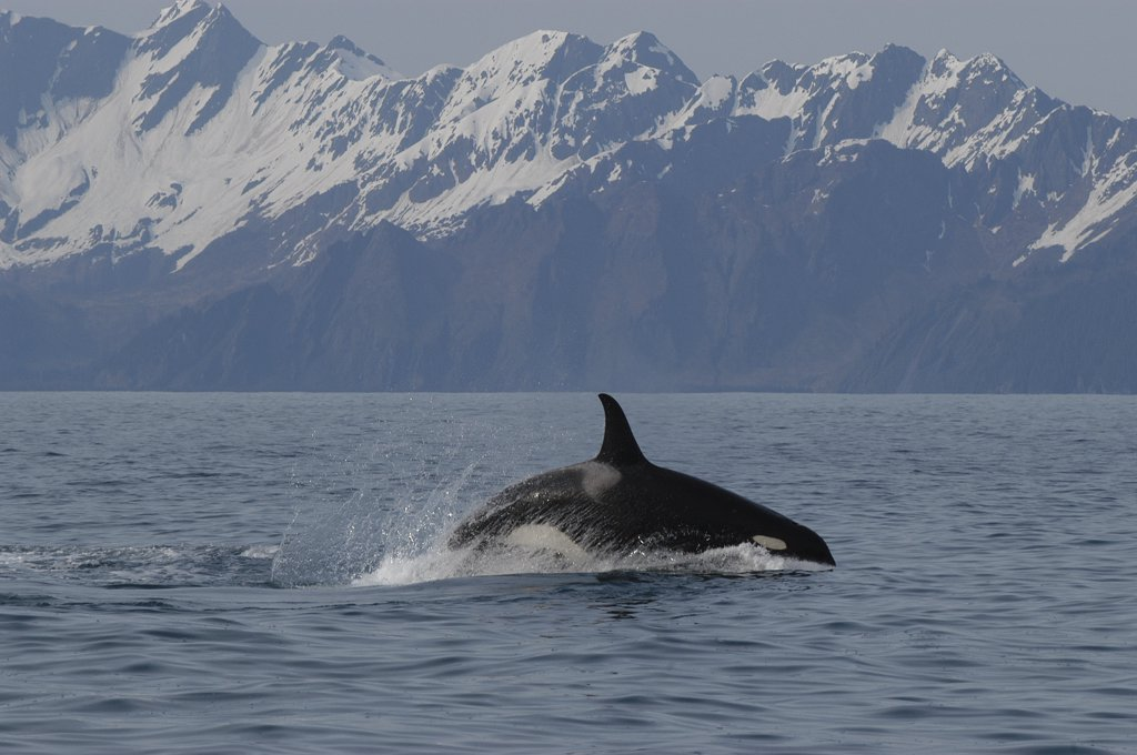 Stock Photo: 4201-71724 Orca (Orcinus orca) porpoising, southeast Alaska