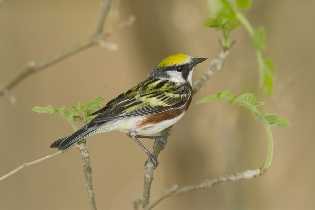 Chestnut-sided Warbler (Dendroica pensylvanica) male, Crane Creek State Park, Ohio : Stock Photo
