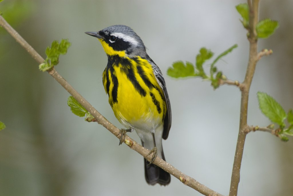 Stock Photo: 4201-71967 Magnolia Warbler (Dendroica magnolia) male, Crane Creek State Park, Ohio
