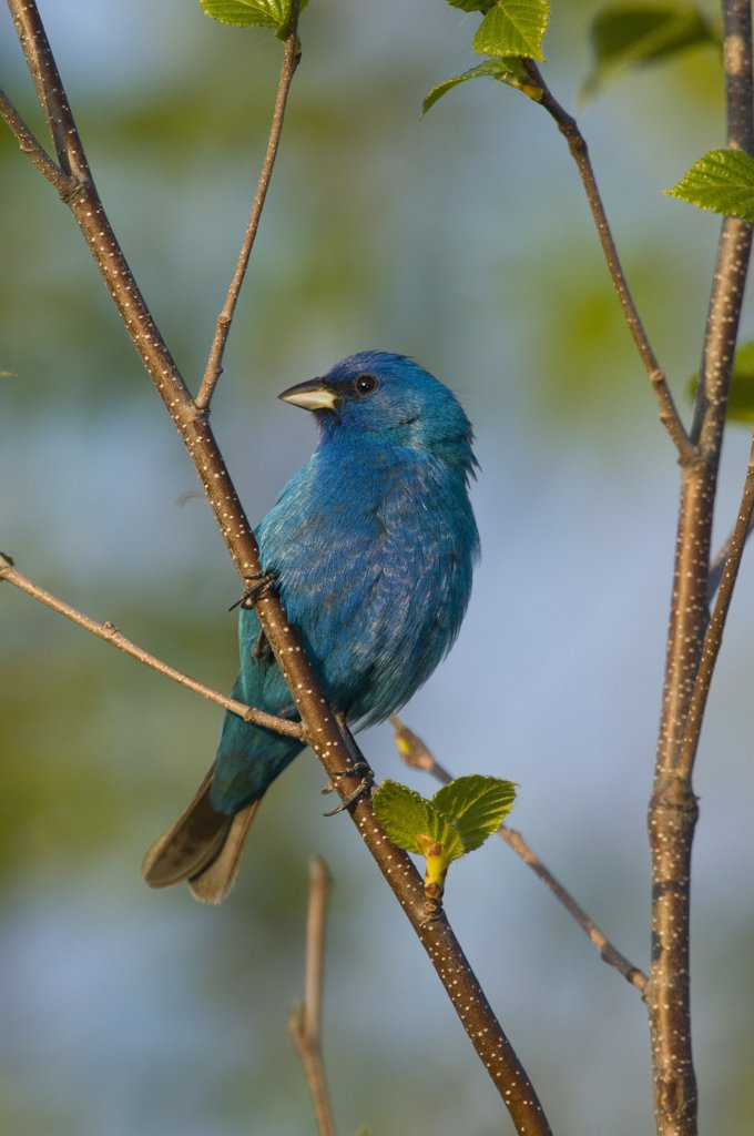 Stock Photo: 4201-72089 Indigo Bunting (Passerina cyanea) male, Rifle River Recreation Area, Michigan