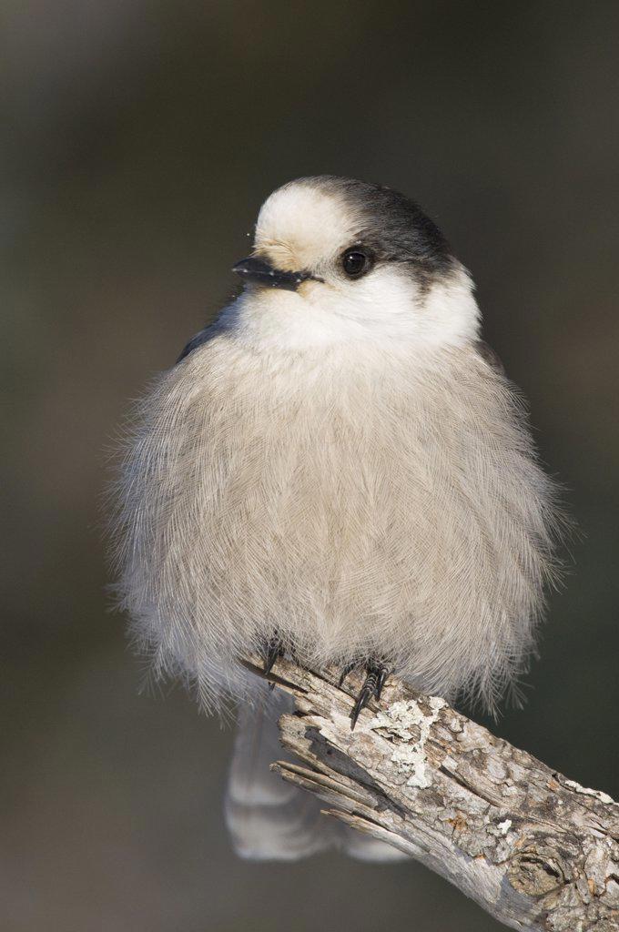 Stock Photo: 4201-72099 Canada Jay (Perisoreus canadensis), Sax-Zim Bog, Minnesota