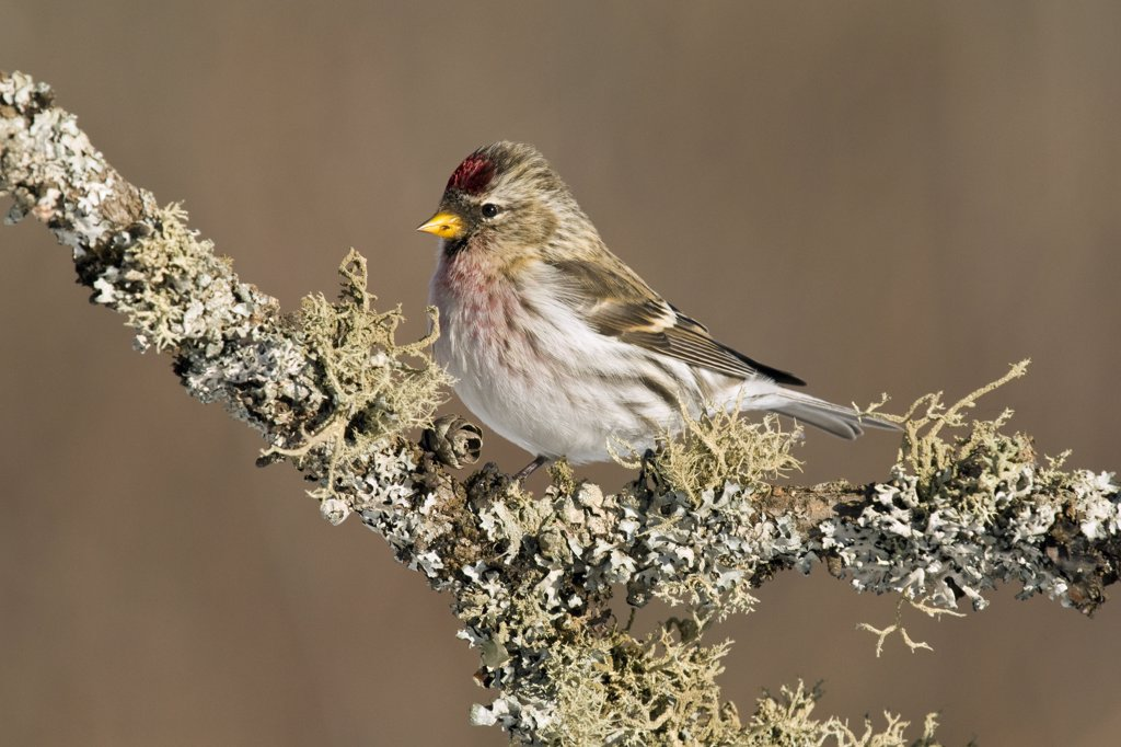 Stock Photo: 4201-72100 Common Redpoll (Carduelis flammea) female, Sax-Zim Bog, Minnesota