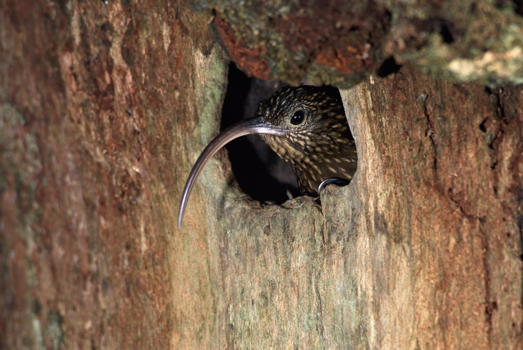 Brown-billed Scythebill (Campylorhamphus pusillus) hummingbird, in tree-cavity nest, Monteverde Cloud Forest Reserve, Costa Rica : Stock Photo