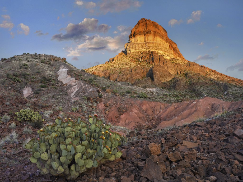 Stock Photo: 4201-7248 Opuntia (Opuntia sp) cactus at Cerro Castellan, Chihuahuan Desert, Big Bend National Park, Chihuahuan Desert, Texas