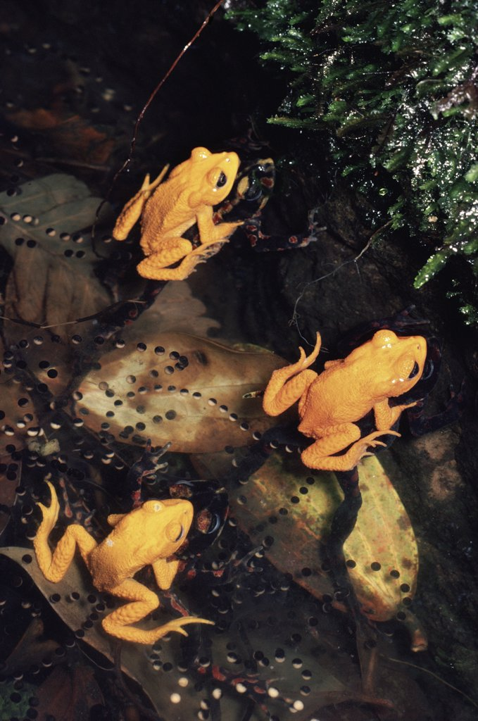 Golden Toad (Bufo periglenes) breeding aggregation, extinct, Monteverde Cloud Forest Reserve, Costa Rica : Stock Photo