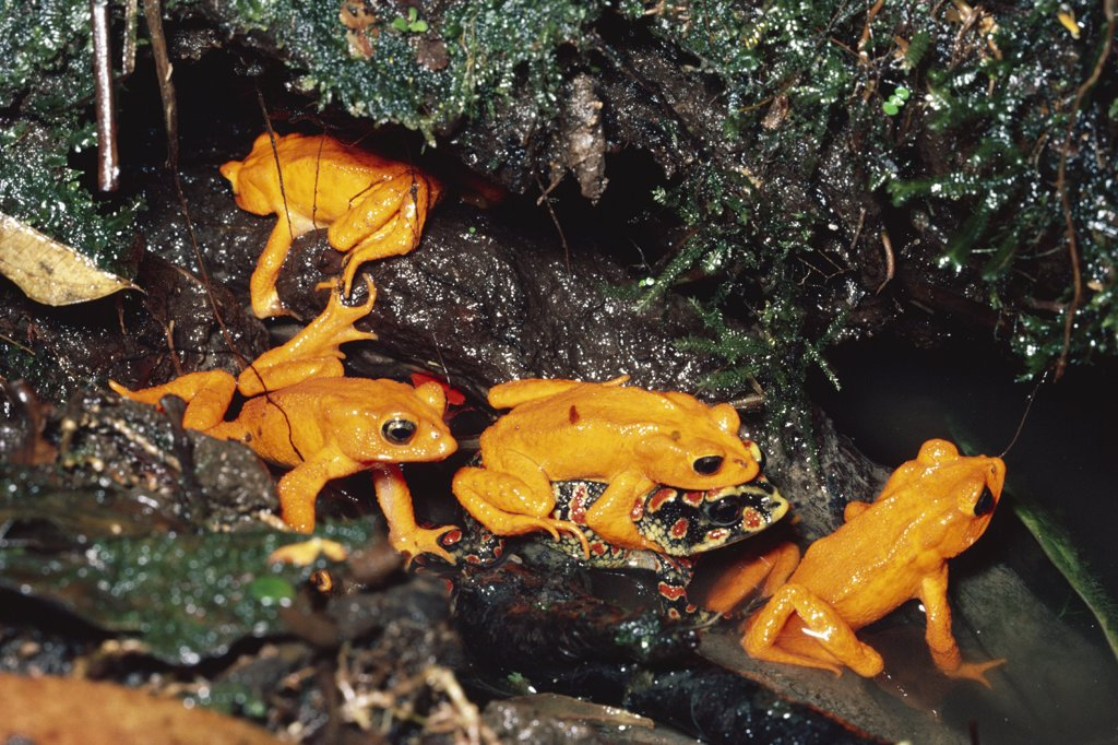 Stock Photo: 4201-72625 Golden Toad (Bufo periglenes) males and single female form breeding aggregation, extinct, Monteverde Cloud Forest Reserve, Costa Rica