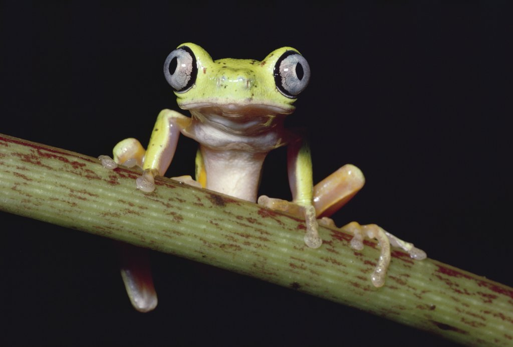 Stock Photo: 4201-72636 Lemur Frog or Maki Frog (Phyllomedusa lemur) perching, facing camera, cloud forest, Costa Rica