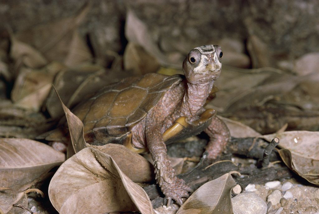 Stock Photo: 4201-72935 Black-breasted Leaf Turtle (Geoemyda spengleri) standing in leaf litter, Vietnam
