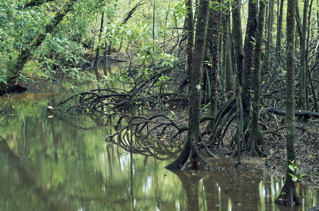 Stock Photo: 4201-73088 Mangrove (Avicennia sp) forest Noah Creek, Daintree National Park, Queensland, Australia