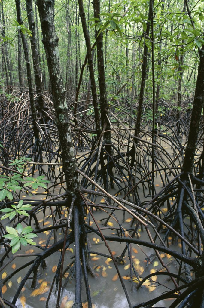 Stock Photo: 4201-73089 Mangrove (Avicennia sp) forest, Noah Creek, Daintree National Park, Queensland, Australia