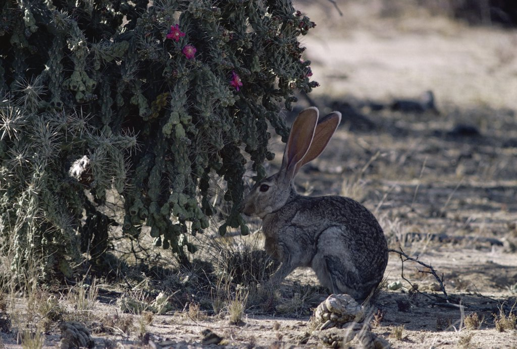 Stock Photo: 4201-73690 Antelope Jackrabbit (Lepus alleni) in shade of cactus, Sonoran Desert, North America