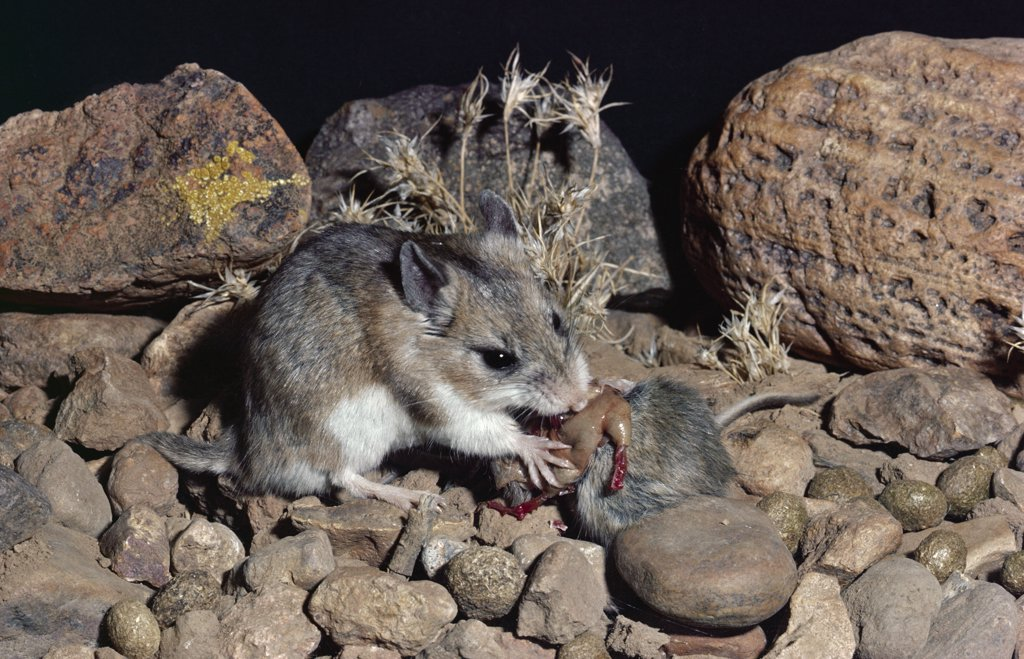 Stock Photo: 4201-73694 Southern Grasshopper Mouse (Onychomys torridus) feeding on Harvest Mouse, Chihuahuan Desert, Mexico